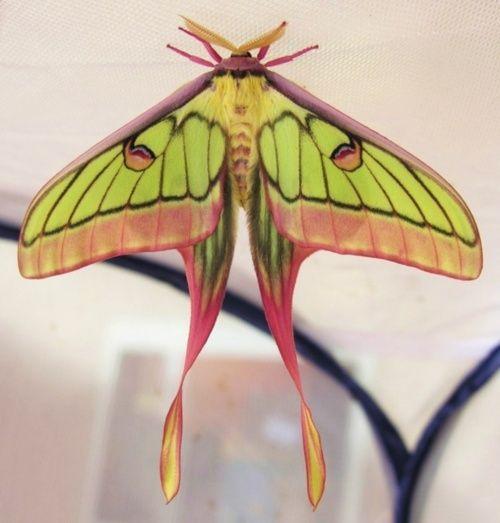 What moth is this?  Tiffany-esque: Moth Actia, Moon Moth, Chine Moon, Mint Green, Bugs, Graellsia Isabellaeactia, Actia Dubernardi, Natural Products, Beautiful Butterfliescaterpil