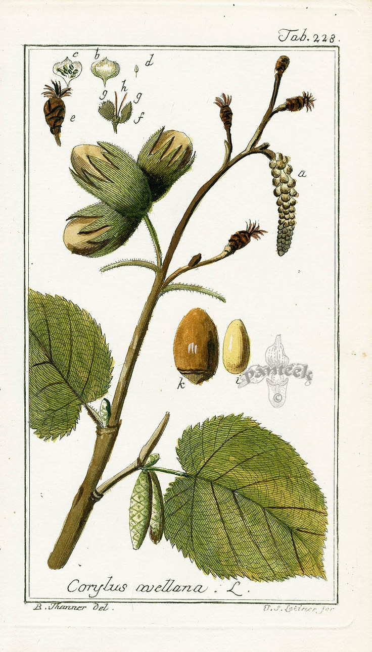 1000  images about corylus on pinterest