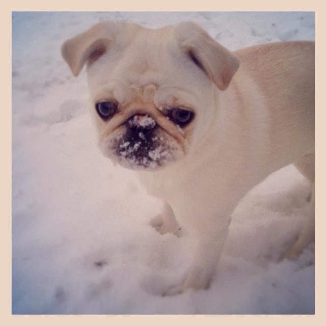 White pug!! My peanut :): Peanut, White Pug