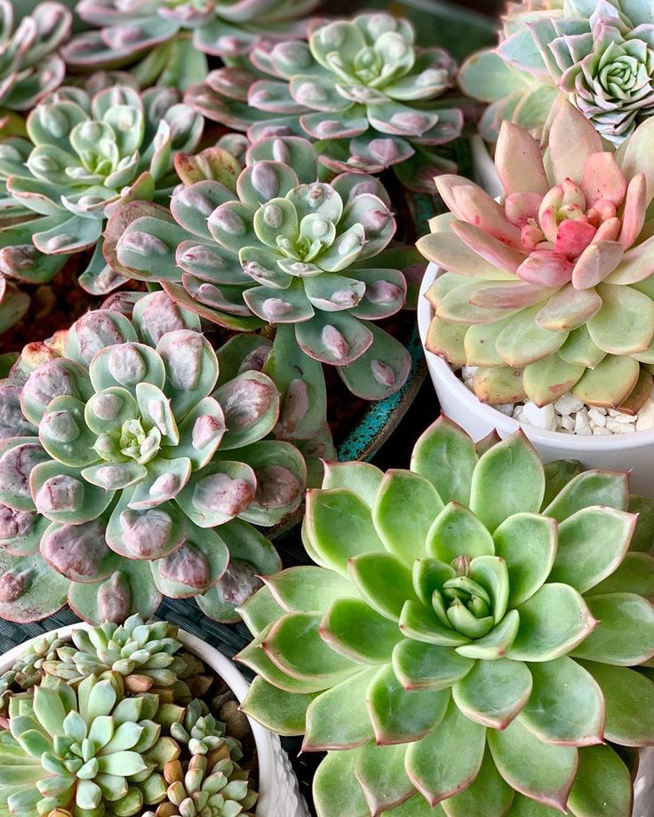 Echeveria Raindrops Succulent in 2020 (With images