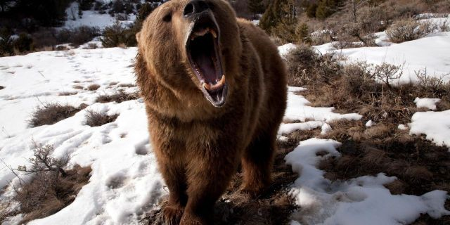 Bear Teeth Angry Wallpaper Photo and Images