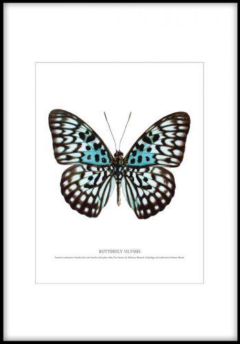 Affisch med en vacker fjäril. Stor och vacker fjäril i turkosa nyanser på vit bakgrund med svart rand runt. Vacker poster till sovrummet.