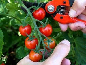 Multiplication de la tomate-cerise