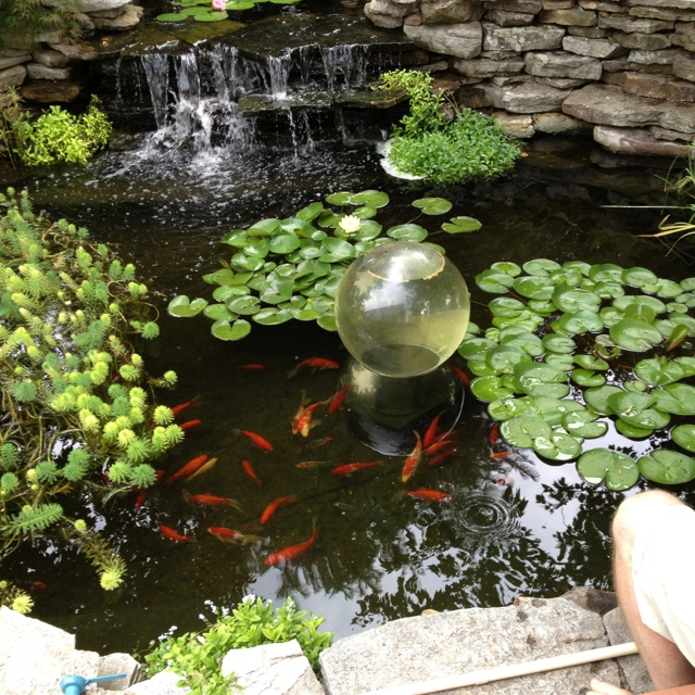 The owners of this pond put fish food inside that globe for What fish should i put in my pond
