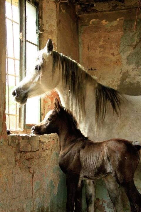 Beauty at the window, Arabian mare and foal.