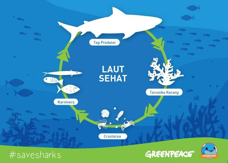 Tahukan kamu kalau ekosistem itu saling berhubungan? Sama seperti halnya ekosistem lautan, untuk menjaganya tetap sehat, butuh keberadaan rantai makanan yang tidak boleh hilang, dan salah satunya adalah Hiu. Hiu berperan layaknya dokter di lautan, yang memangsa ikan yang sakit atau tua, dan mencegah laut dari penyebaran penyakit. Berkurangnya populasi hiu di lautan berdampak pada berkurangnya ikan-ikan komersial, dan juga cumi, udang, kepiting dan lobster.