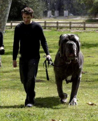 Neopolitan Mastiff, I need him as my house guard!