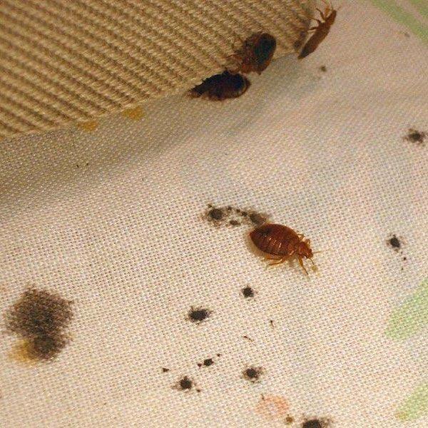 Bed Bug Mattress Invasion Cuse Syracuse Manliusny Camillusny