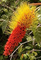 Bottlebrush Flower    Along the Amazon river, Peru
