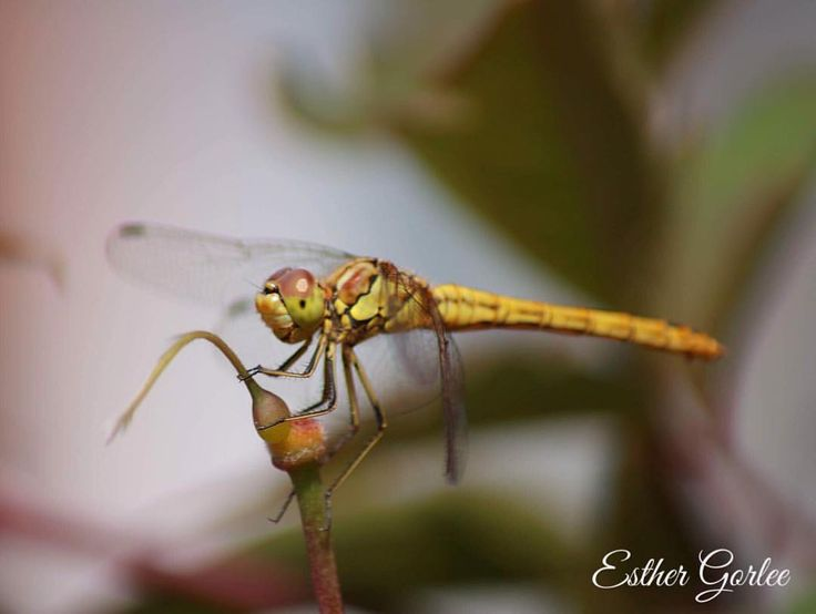 94 vind-ik-leuks, 2 reacties - My first Canon (@my_first_canon) op Instagram: '#photography #canon #naturephotography #beautifulnature #dragonfly #macro #macrophotography…'