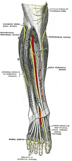 The common peroneal nerve innervates the lateral side of the lower leg and the ankle. It leaves the sciatic nerve behind the knee, and it enters a tunnel at the lateral side of the knee, formed by the two heads of the peroneus longus muscle. It passes beneath the fibrous border of the peroneus muscle as it leaves the head of the tibia. This narrow region is where the nerve enters the front of the lower leg.Compression of the peroneal nerve gives sensory symptoms related to numbness or…
