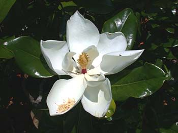 Magnolia Tree Native To The Coast From Southernmost North Carolina South This Commonly Planted