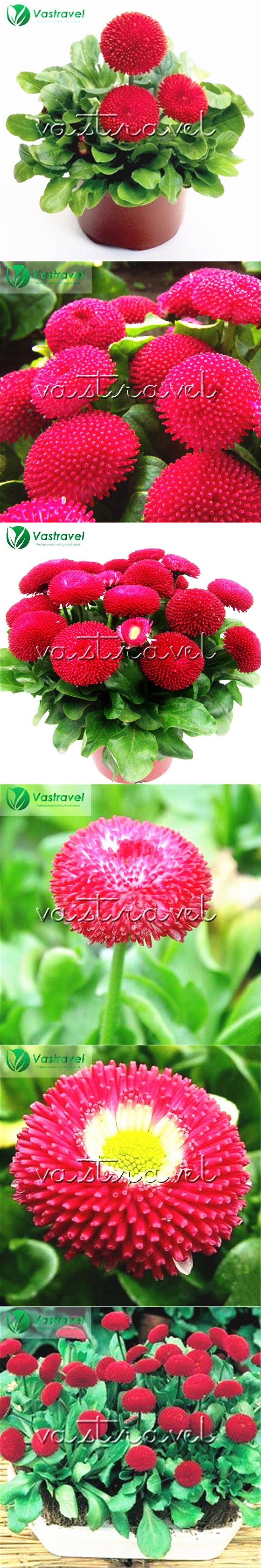 Red Bellis perennis English Daisy Flower 500 Seeds  / Bag  Lawn Daisy Easy to grow from seed Dwarf Bonsai Flower