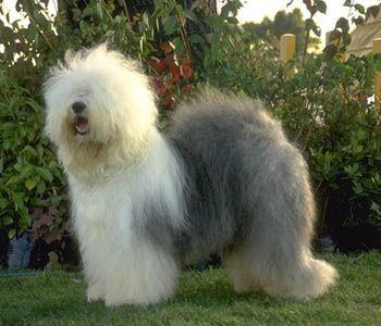 Old English Sheepdog: Animals, Pastor Ingles, Pet, Old English Sheepdog, Pastor Inglés, Dog