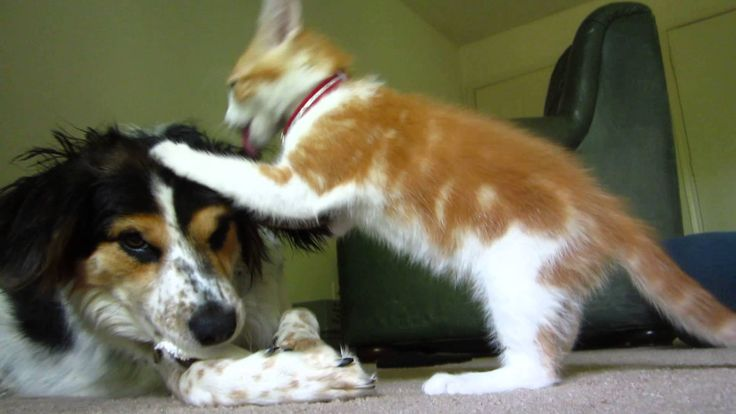 My dog is just trying to enjoy her bone, but my cat won't stop pestering her. Mia (the dog) is an Australian Shepherd mix and Myles (the cat) is a Tabby. Ple...