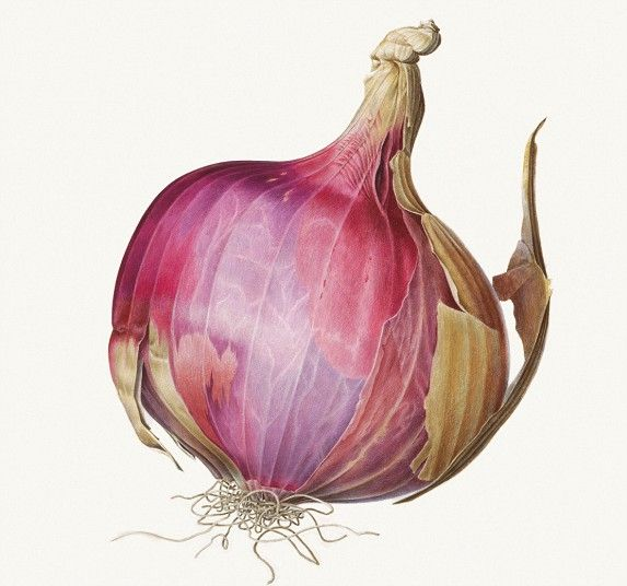 An Indian onion, painted in delicate shades of pink and purple. Rory McEwen