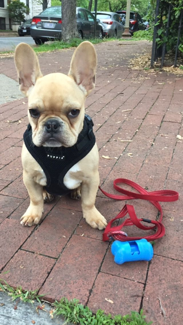 No More Walking Today Truman The Bossy French Bulldog Puppy