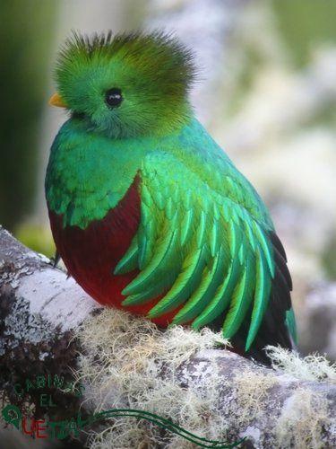 Cabinas El Quetzal - Tour de observacion de quetzales en San Gerardo de Dota Costa Rica - Quetzales y observación de aves