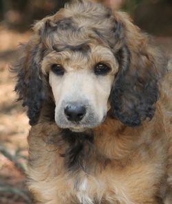 Apricot & Cream Standard Poodles and Poodle Puppies For Sale | Family Affair Standards