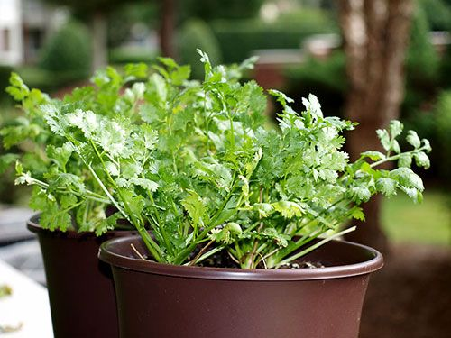 O coentro é uma das ervas aromáticas mais utilizadas na cozinha, por isso aprenda a plantar para ter sempre em casa :) #plantar #horta #coentro