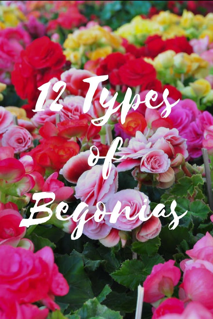 The 12 Types Of Begonias For Your Garden Flower Garden Design Begonia Container Flowers
