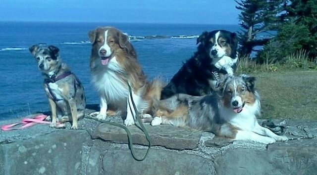 JR Aussies, this is Callie's family in Washington. Frankie (Red tri) KT ( blue merle) Callie's brother and sister. In the back Nikki ( Black tri) is Callie's mother.