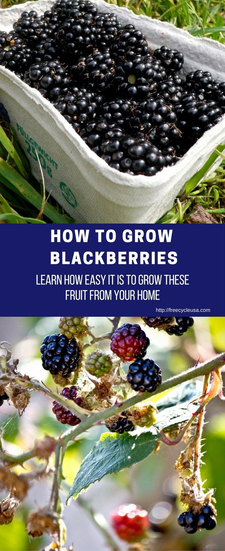 DIY HOW TO GROW BLACKBERRIES - http://www.freecycleusa.com/diy-grow-blackberries/
