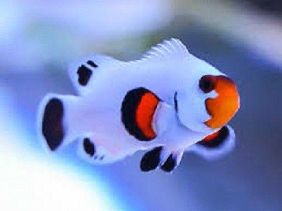 X1 Snowflake Wyoming Clown Fish Tank Raised Amphiprion Oc Free Shipping Clown Fish Saltwater Fish Tanks Fish