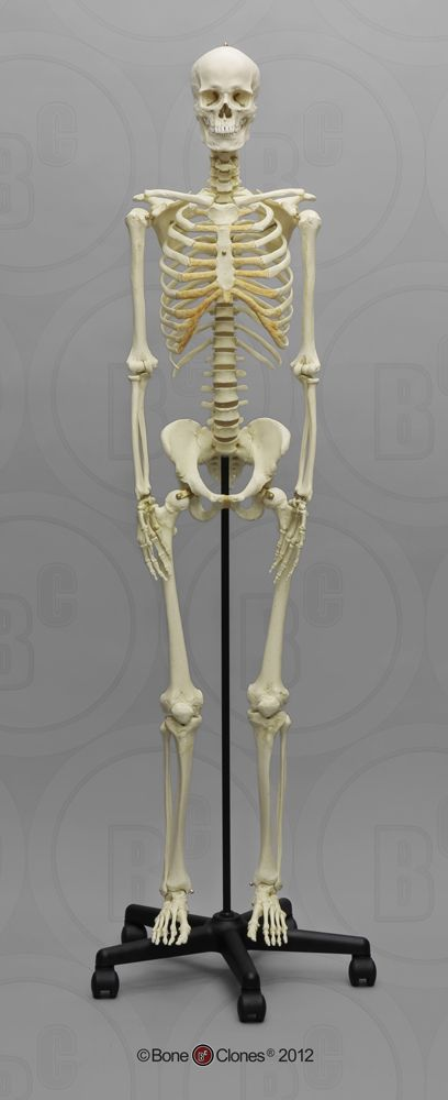 Human Male European Articulated Skeleton — Bone Clones.