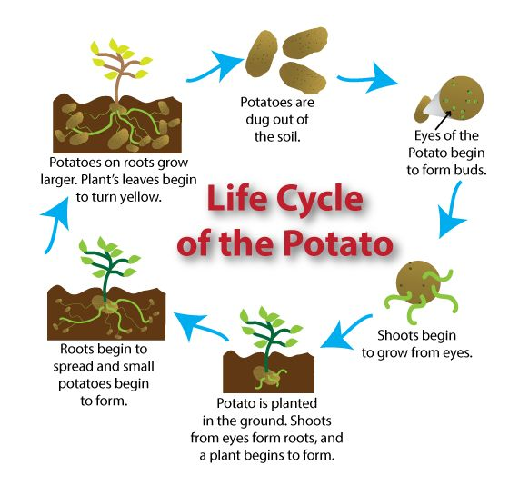 Diagram of the life cycle of the potato. | Growing ...