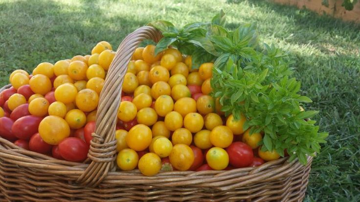 yellow and red tomatoes with greek basil