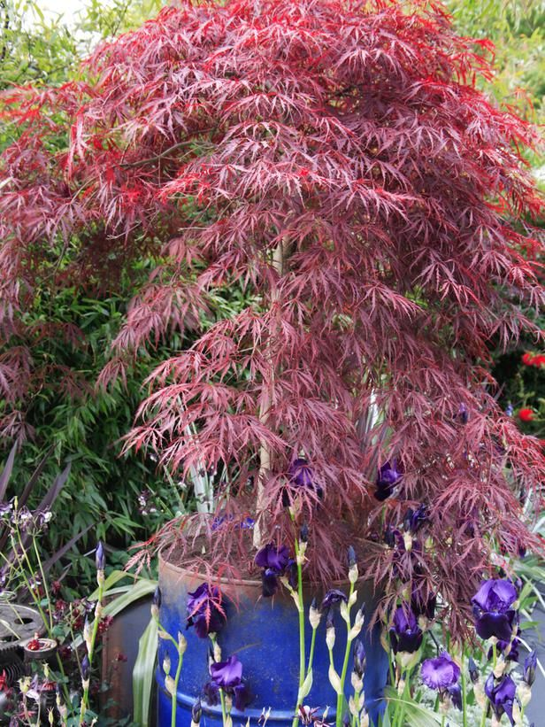 Container and Small-Space Gardening: A metal drum makes a sturdy home for this pretty Japanese Maple.  From DIYnetwork.com