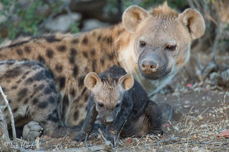 Wild dog mother & cub