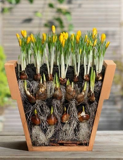 "Bulb-stacking for more blooms. Autumn: Spring bulbs in Pots: store potted bulbs in unheated garage. water every few weeks. In addition to small pots, pack bulbs ""shoulder-to-shoulder"" in big containers for abundant display in spring. Ignore spacing recommendations"