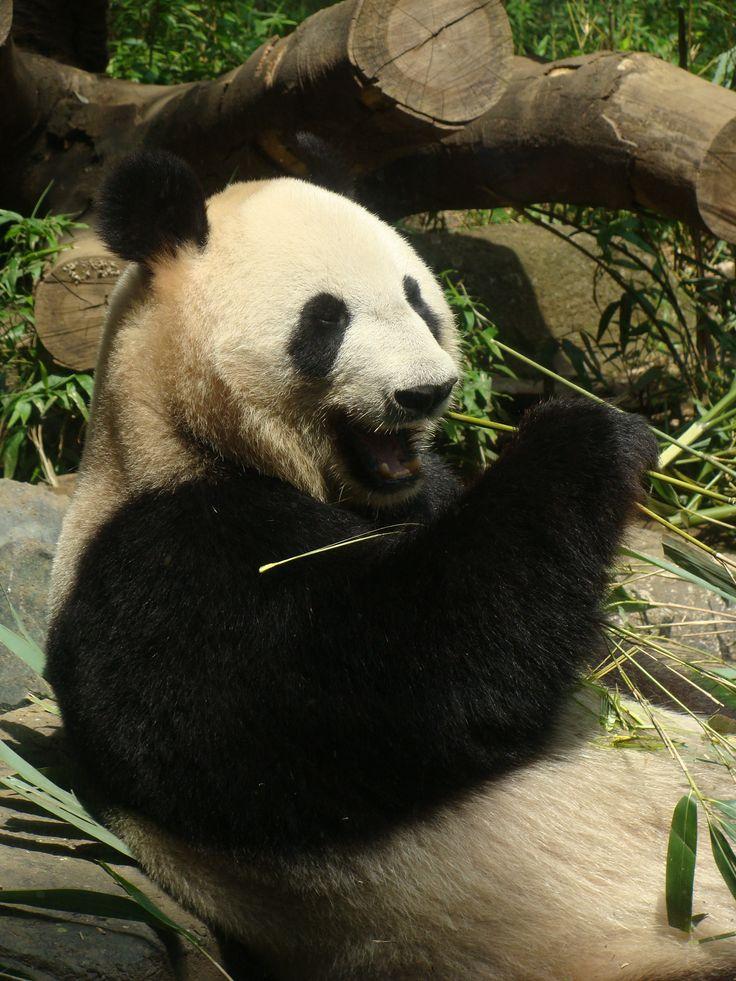 Happy Panda @ Ueno Zoo in Tokyo, Japan