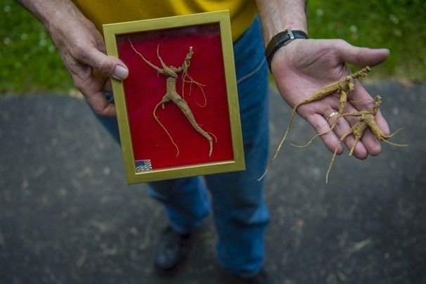 Maryland bans wild ginseng harvest on state land, upsetting diggers.  For information on how to sustainably produce American ginseng through forest farming methods, visit www.extension.org/forest_farming