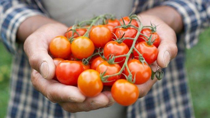 """Manfaat tomat (Solanum lycopersicum) untuk tubuh dapat diketahui dari berbagai publikasi ilmiah. Misalnya, Edward Giovannucci di dalam publikasi berjudul """"Tomato Products, Lycopene, and Prostate Cancer: A Review of the Epidemiological Literature di American Society for Nutritional Sciences"""", 2005 berpendapat bahwa masih ada kontroversial khasiat tomat untuk kesehatan khususnya dalam mencegah berbagai penyakit salah satunya kanker prostat."""