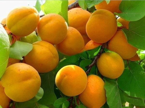 Khurmani is dry fruit it very important for skinning health. Generate hemoglobin. It grows naturally... That is why it is health..!