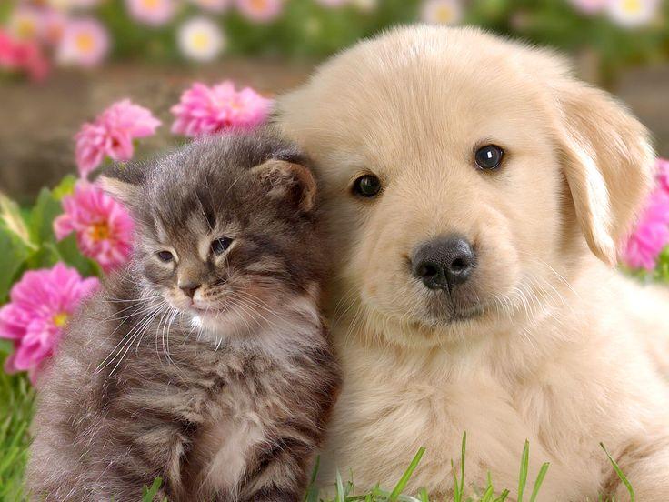 Los perros son apreciados por su inteligencia.38 La inteligencia canina se refiere a la habilidad de un perro de procesar la información que recibe a través de sus sentidos para aprender, adaptarse y resolver problemas. La etología cognitiva es la disciplina que se encarga de estudiar está área dentro de la cognición animal.