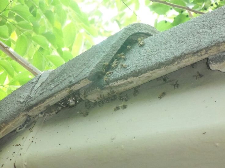 Bee removal in Johannesburg, removed bees in a ceiling skirting boksburg ,sunwardpark .R650 Flat rate