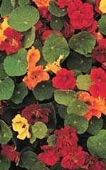 Nasturtium - Annual
