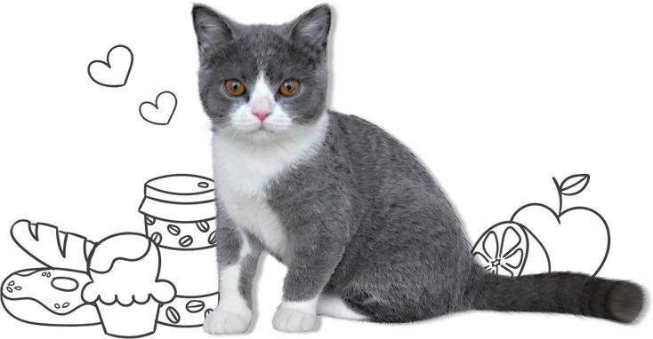 ブリティッシュショートヘアの子猫・小鉄
