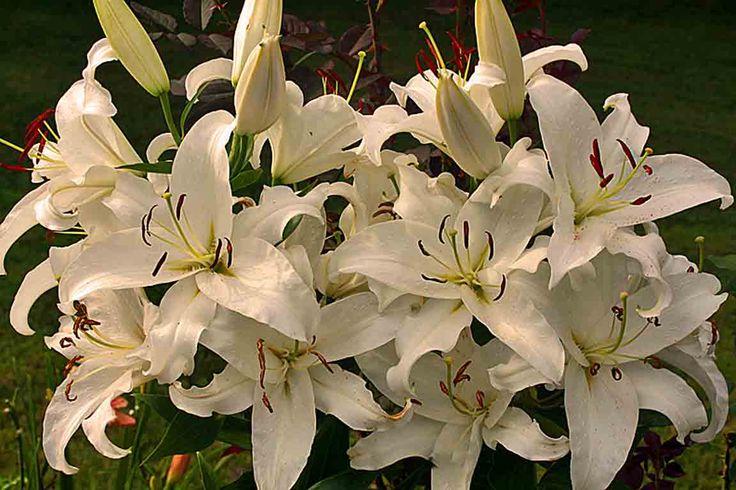 "Lilies ""Simplon"""