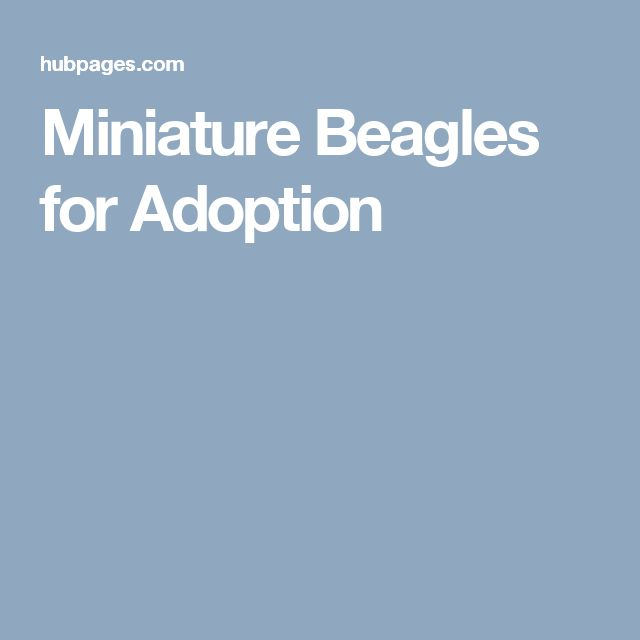 Miniature Beagles for Adoption