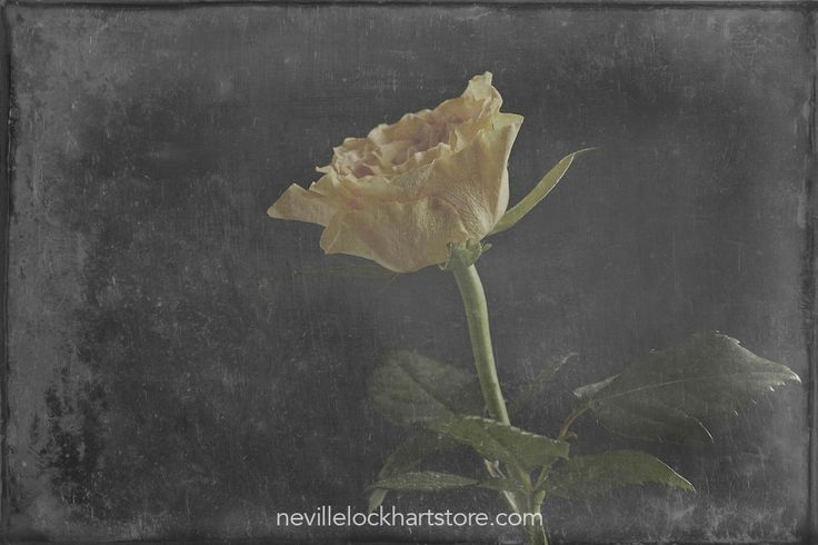 Yellow Rose, Fine Art,