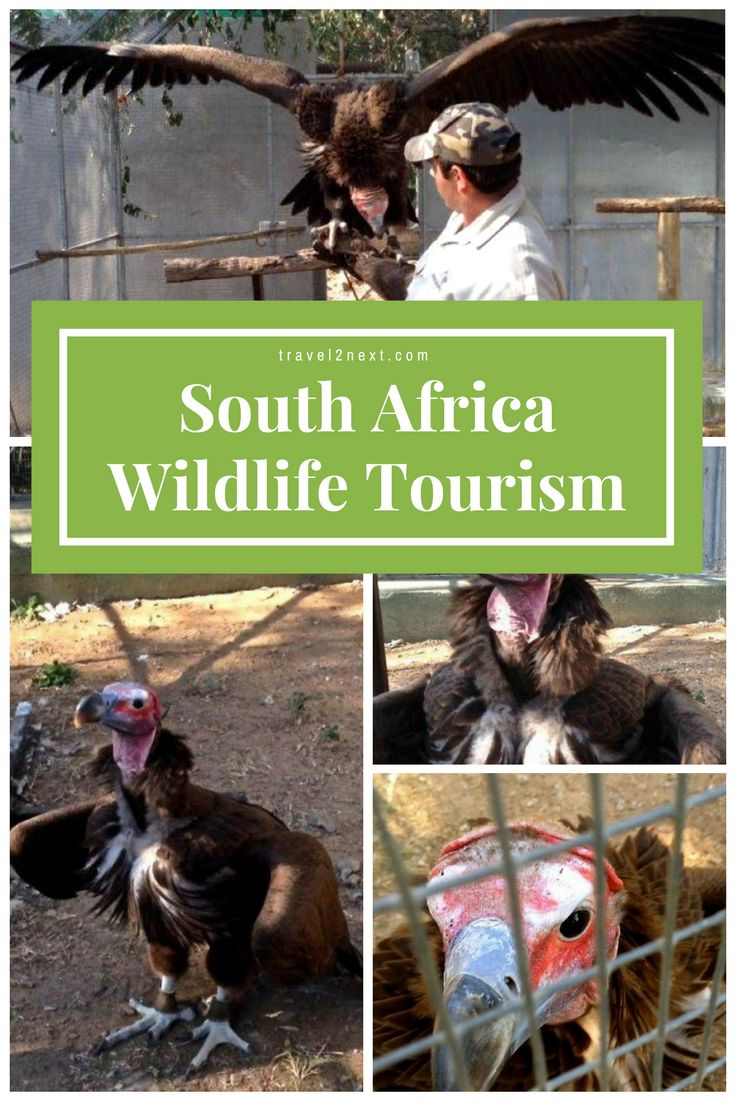 South Africa wildlife tourism. The lappet-faced or Nubian vulture is one of 16 old world vultures belonging to a bird order which includes eagles, kites, buzzards and hawks.