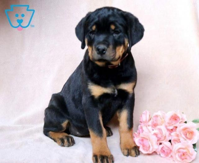 The Many Things We Enjoy About The Confident Rottweiler Dogs