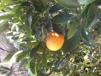1 naranjo, 1 naranja!