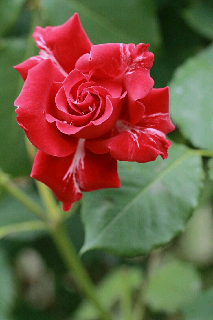 Pretty Roses Beautiful Flowers China Rose Pearls Animals Amazing Red Nature Blog