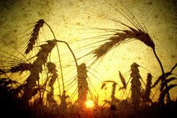 How fungi attack wheat